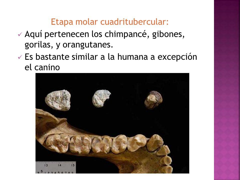 Etapa molar cuadritubercular: Aquí pertenecen los chimpancé, gibones, gorilas, y orangutanes. Es bastante similar a la humana a excepción el canino