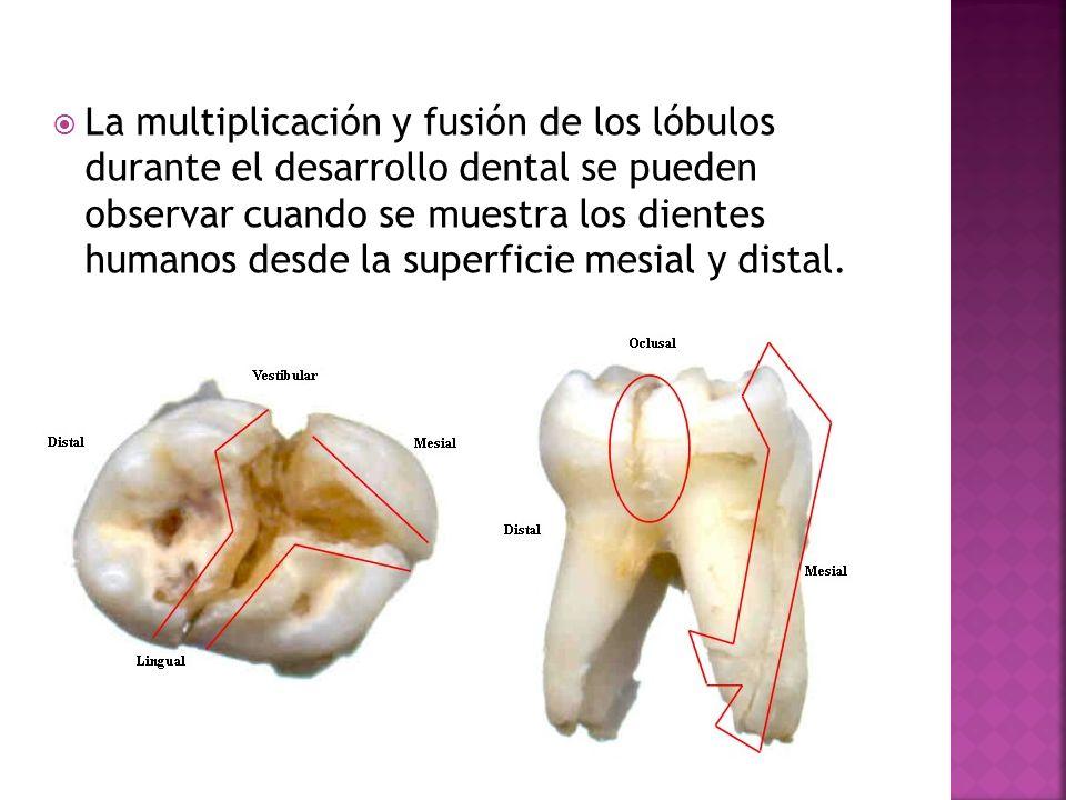 La multiplicación y fusión de los lóbulos durante el desarrollo dental se pueden observar cuando se muestra los dientes humanos desde la superficie me