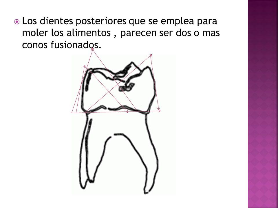 Los dientes posteriores que se emplea para moler los alimentos, parecen ser dos o mas conos fusionados.