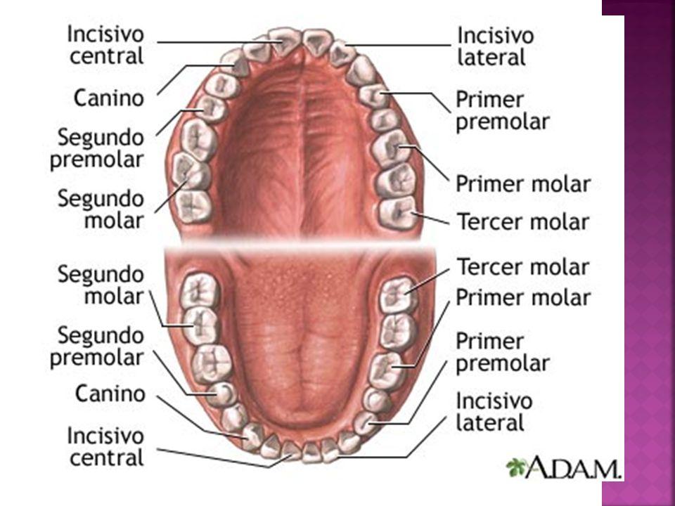 Tiene un contorno romboidal cuando se observa desde la mesial o distal.