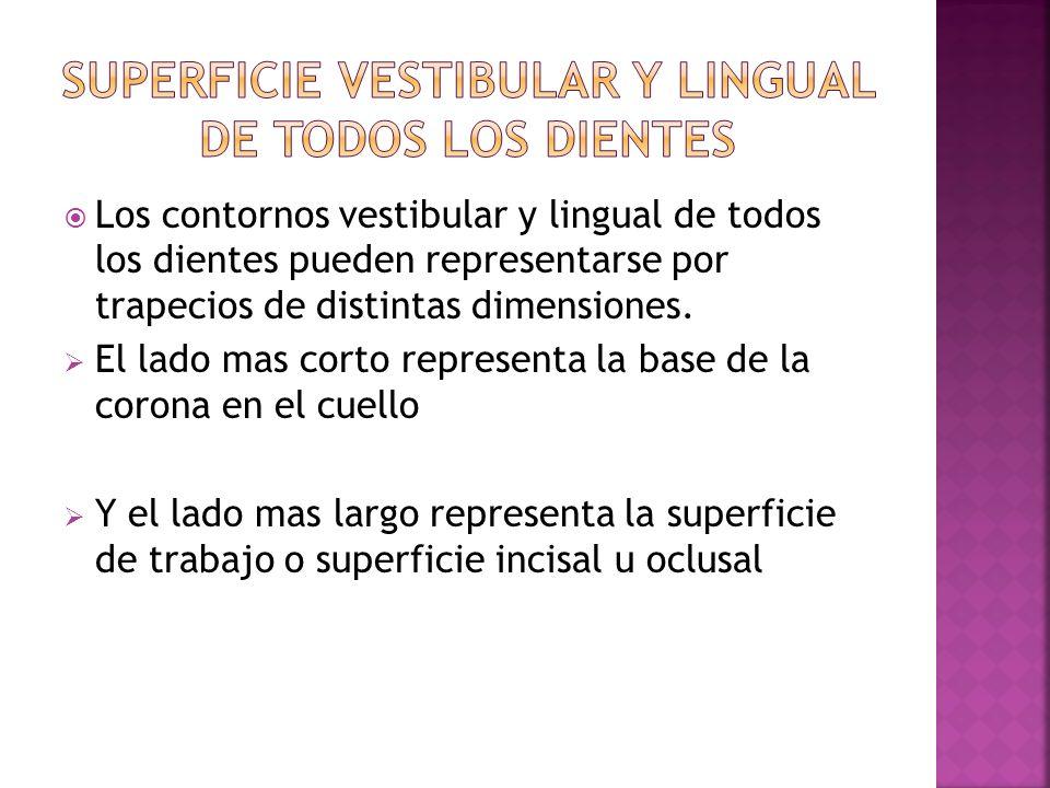 Los contornos vestibular y lingual de todos los dientes pueden representarse por trapecios de distintas dimensiones. El lado mas corto representa la b