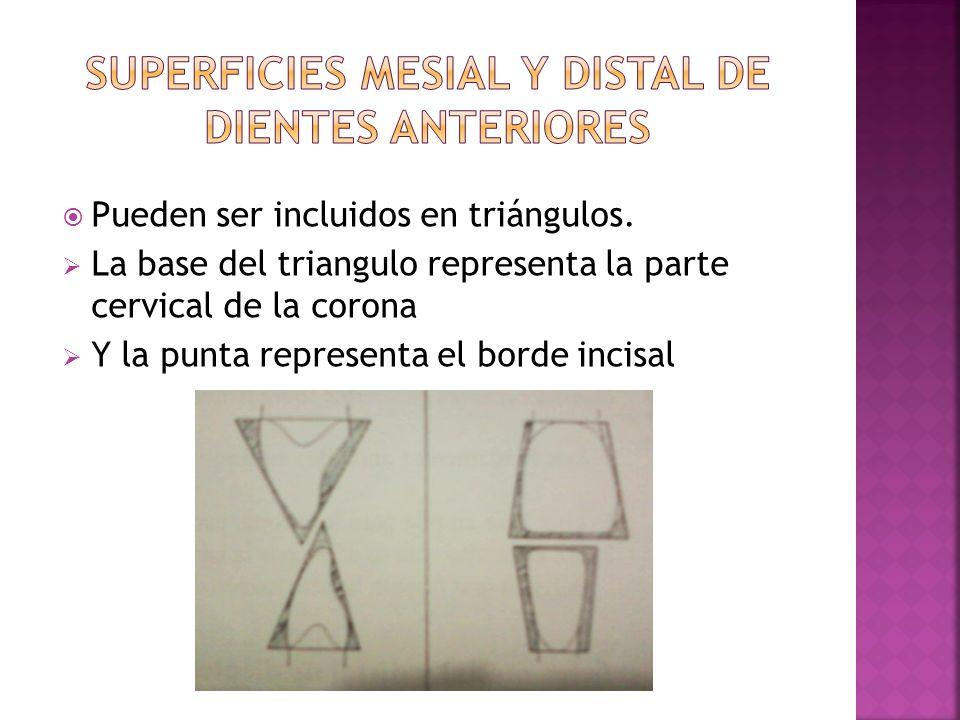 Pueden ser incluidos en triángulos. La base del triangulo representa la parte cervical de la corona Y la punta representa el borde incisal