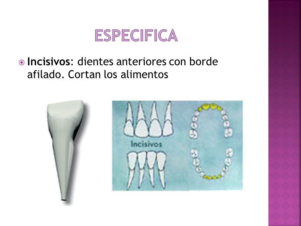 Incisivos: dientes anteriores con borde afilado. Cortan los alimentos