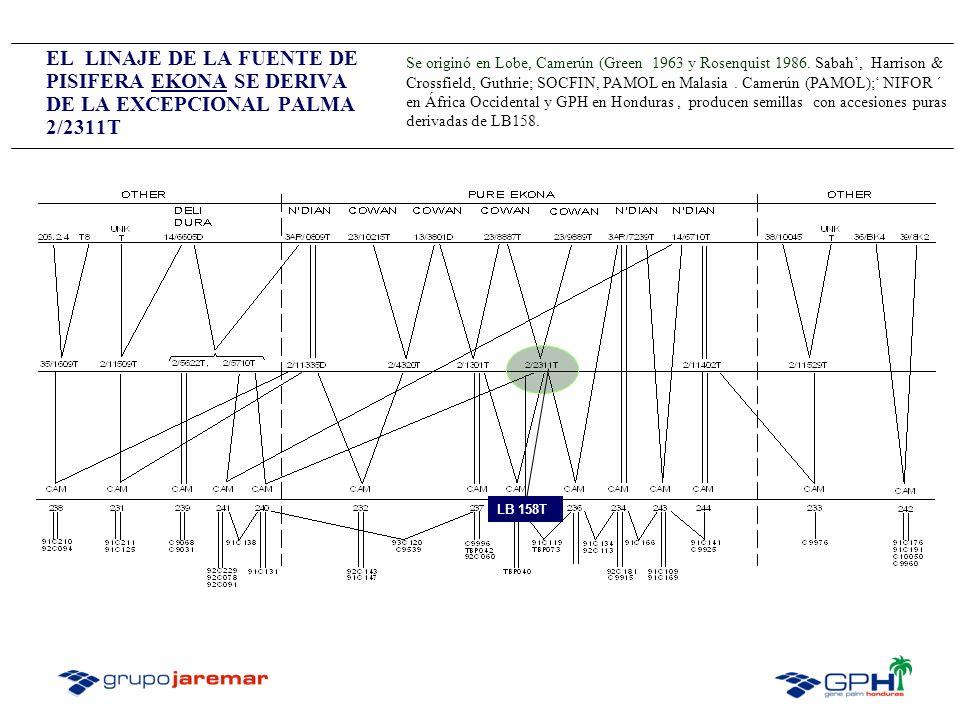 EL LINAJE DE LA FUENTE DE PISIFERA EKONA SE DERIVA DE LA EXCEPCIONAL PALMA 2/2311T LB 158T Se originó en Lobe, Camerún (Green 1963 y Rosenquist 1986.