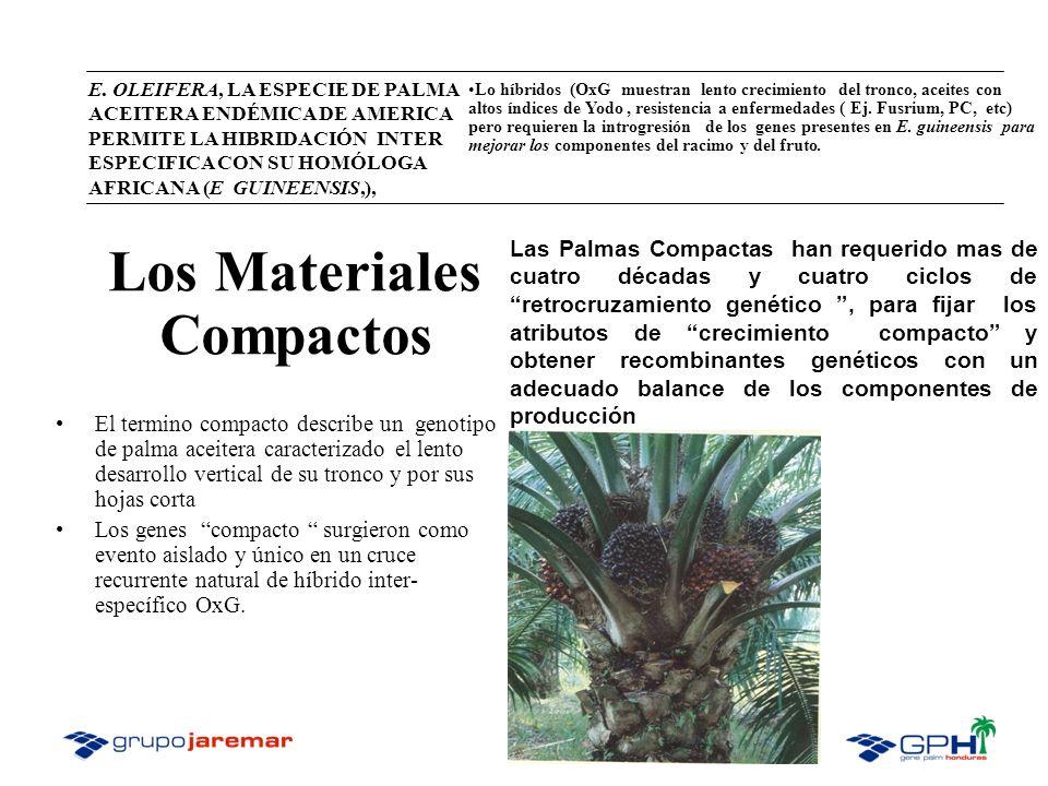 E. OLEIFERA, LA ESPECIE DE PALMA ACEITERA ENDÉMICA DE AMERICA PERMITE LA HIBRIDACIÓN INTER ESPECIFICA CON SU HOMÓLOGA AFRICANA (E GUINEENSIS,), Lo híb