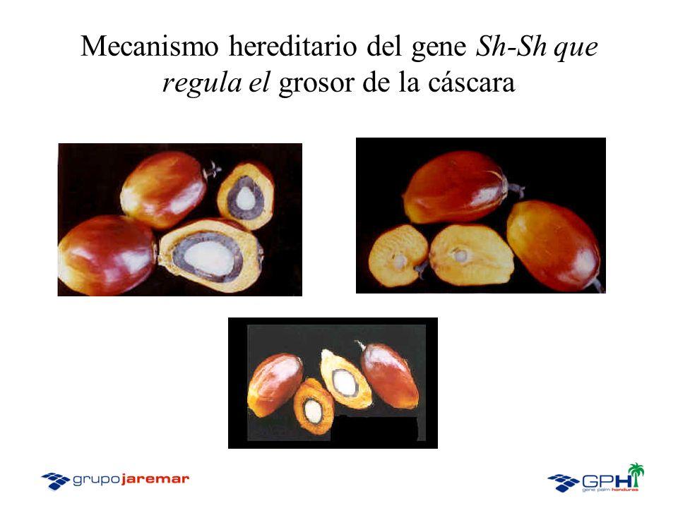 Mecanismo hereditario del gene Sh-Sh que regula el grosor de la cáscara
