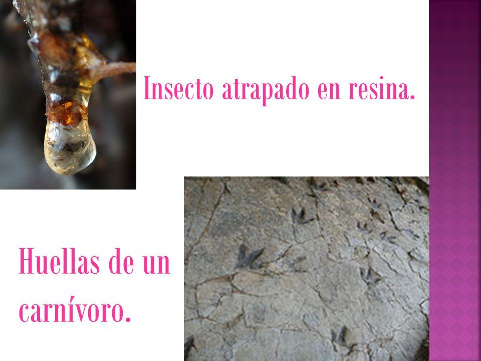 Insecto atrapado en resina. Huellas de un carnívoro.