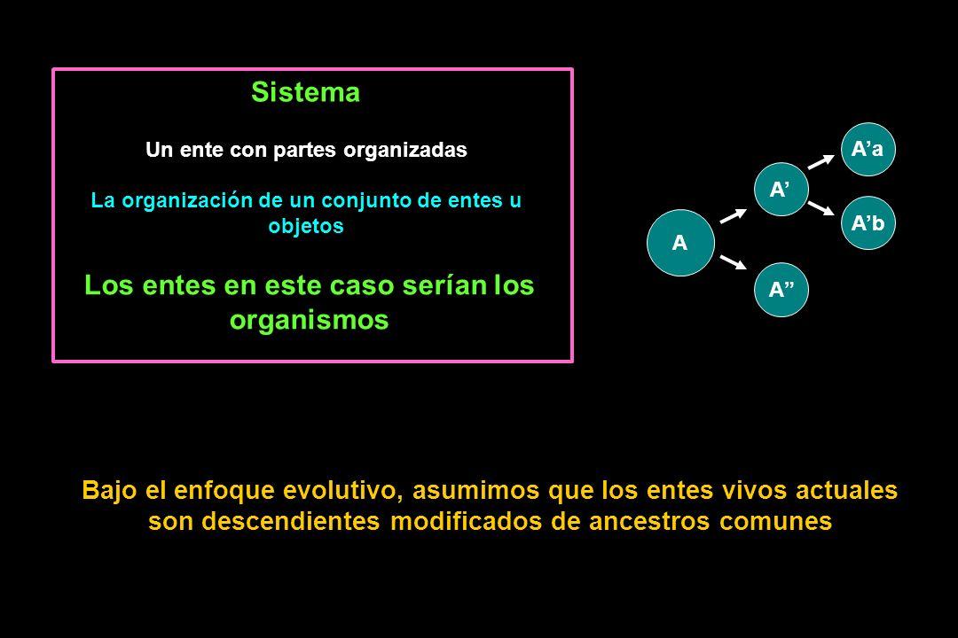 Sistema Un ente con partes organizadas La organización de un conjunto de entes u objetos Los entes en este caso serían los organismos Bajo el enfoque evolutivo, asumimos que los entes vivos actuales son descendientes modificados de ancestros comunes A A A Aa Ab