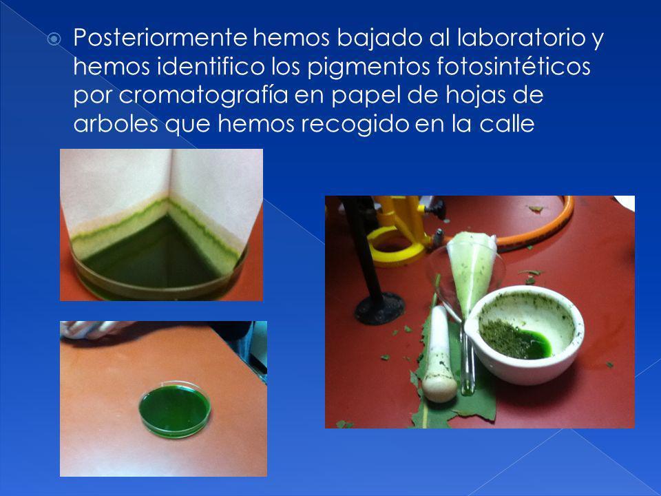 Posteriormente hemos bajado al laboratorio y hemos identifico los pigmentos fotosintéticos por cromatografía en papel de hojas de arboles que hemos recogido en la calle