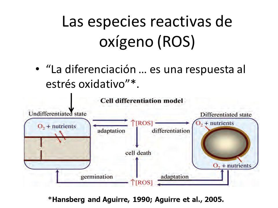 Las especies reactivas de oxígeno (ROS) La diferenciación … es una respuesta al estrés oxidativo*. *Hansberg and Aguirre, 1990; Aguirre et al., 2005.