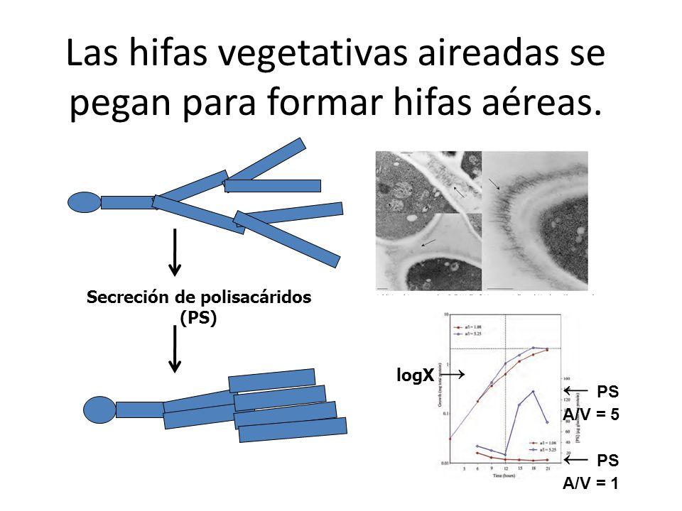 Las hifas vegetativas aireadas se pegan para formar hifas aéreas. Secreción de polisacáridos (PS) logX PS A/V = 5 PS A/V = 1