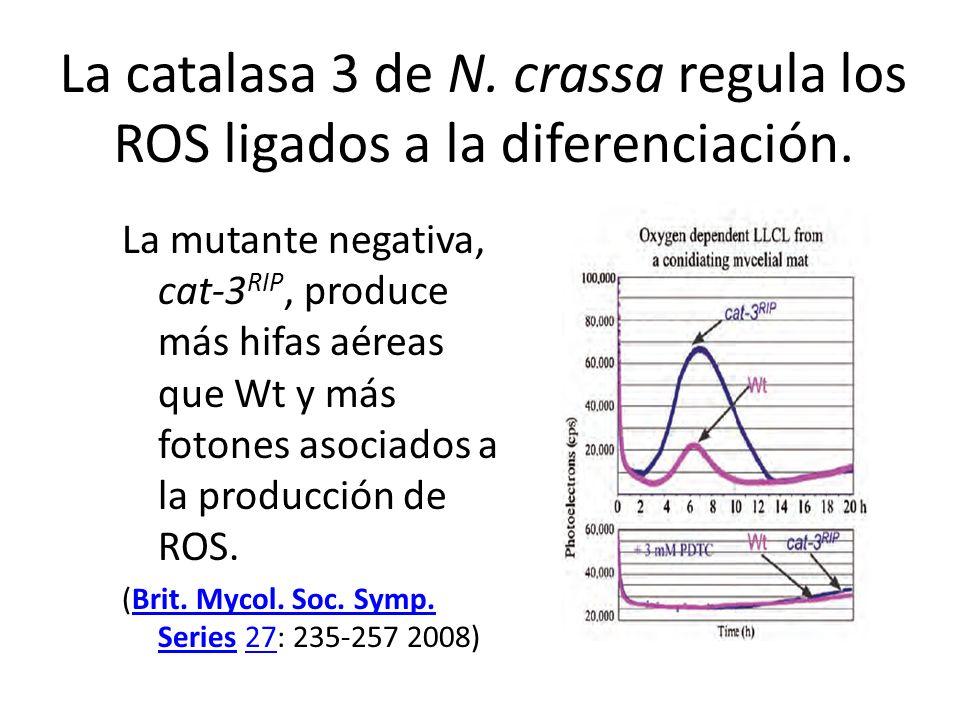 La catalasa 3 de N. crassa regula los ROS ligados a la diferenciación. La mutante negativa, cat-3 RIP, produce más hifas aéreas que Wt y más fotones a