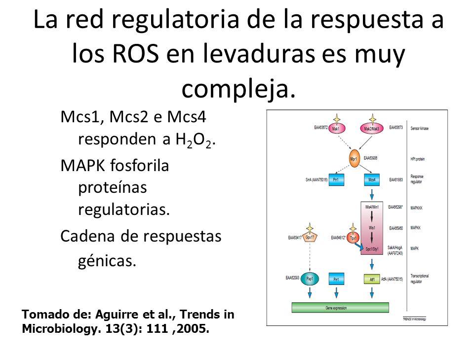 La red regulatoria de la respuesta a los ROS en levaduras es muy compleja. Mcs1, Mcs2 e Mcs4 responden a H 2 O 2. MAPK fosforila proteínas regulatoria