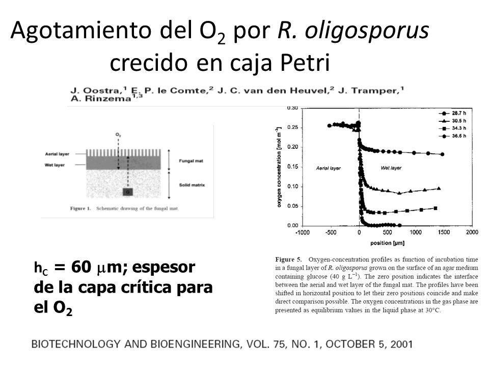 Agotamiento del O 2 por R. oligosporus crecido en caja Petri h C = 60 m; espesor de la capa crítica para el O 2