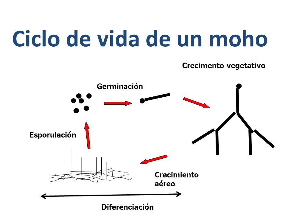 Ciclo de vida de un moho Germinación Crecimento vegetativo Crecimiento aéreo Esporulación Diferenciación