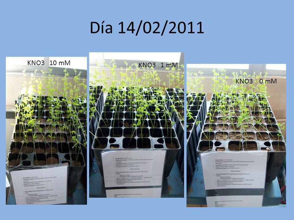 Día 7/02/2011 KNO3 10 mM KNO3 1 mM KNO3 0 mM