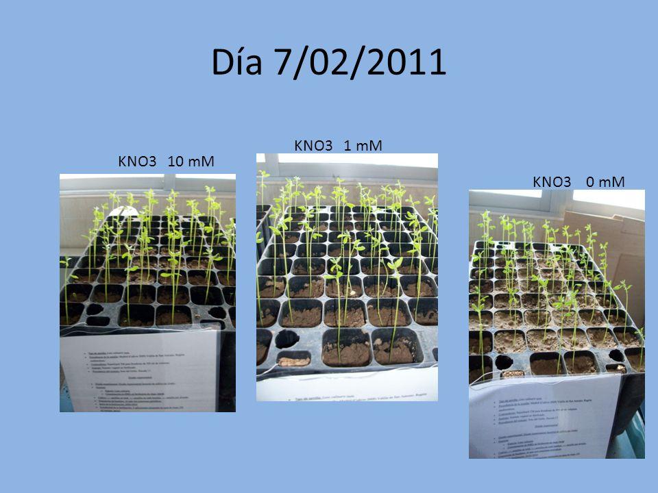Día 27/01/2011 KNO3 10 mM KNO 3 1 mM KNO3 0 mM