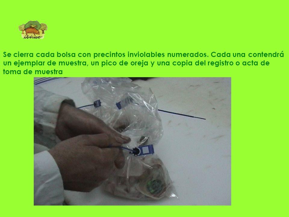 Junto al ejemplar de muestra se introduce un pico de la oreja con la identificación del lote de explotación de los animales Preparación de bolsas con
