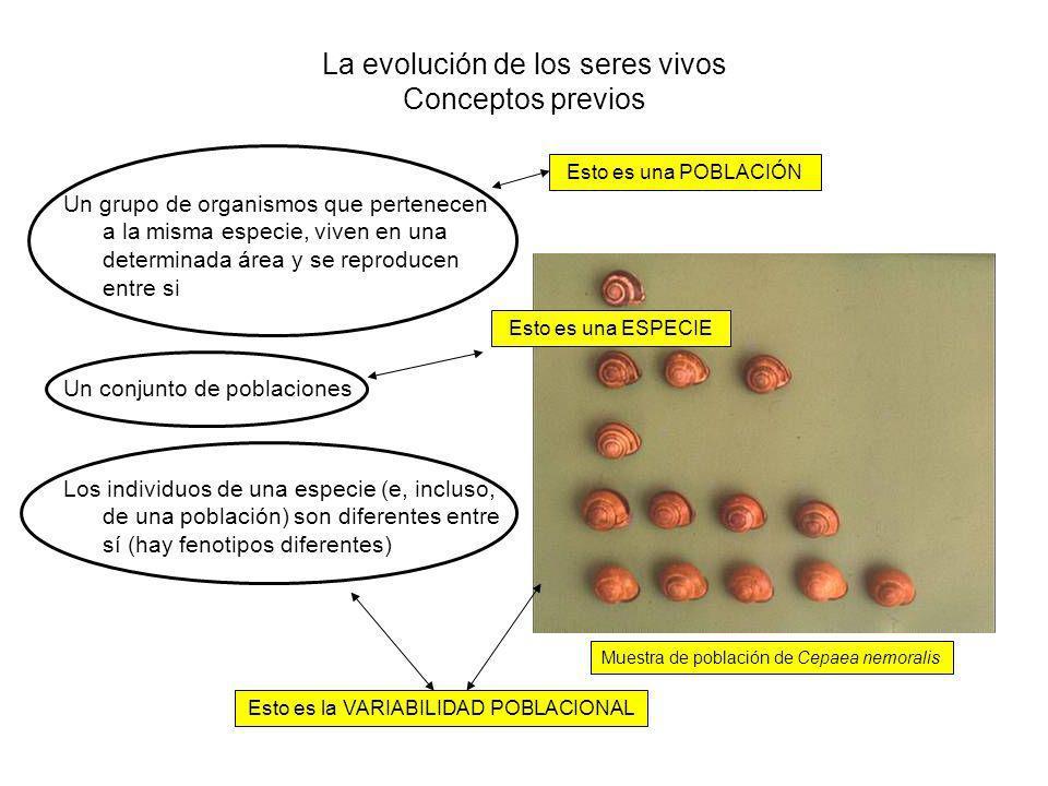 La evolución de los seres vivos Conceptos previos Un grupo de organismos que pertenecen a la misma especie, viven en una determinada área y se reproducen entre si Un conjunto de poblaciones Los individuos de una especie (e, incluso, de una población) son diferentes entre sí (hay fenotipos diferentes) Esto es la VARIABILIDAD POBLACIONAL Esto es una POBLACIÓN Esto es una ESPECIE Muestra de población de Cepaea nemoralis