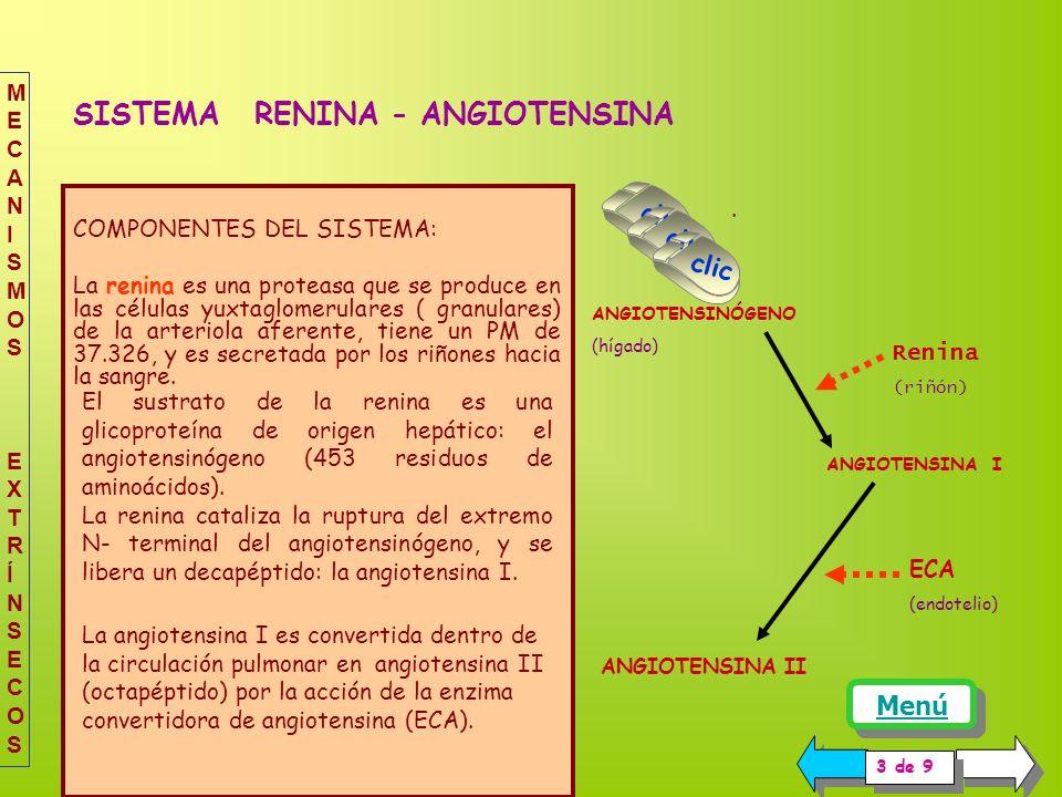 COMPONENTES DEL SISTEMA: La renina es una proteasa que se produce en las células yuxtaglomerulares ( granulares) de la arteriola aferente, tiene un PM de 37.326, y es secretada por los riñones hacia la sangre.