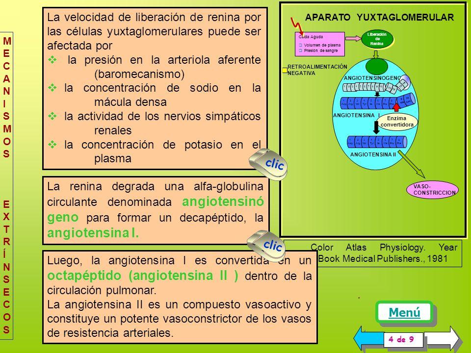 COMPONENTES DEL SISTEMA: La renina es una proteasa que se produce en las células yuxtaglomerulares ( granulares) de la arteriola aferente, tiene un PM