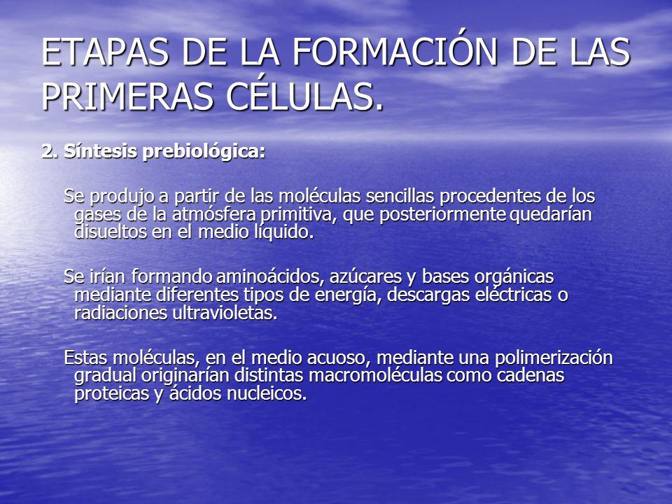ETAPAS DE LA FORMACIÓN DE LAS PRIMERAS CÉLULAS. 2. Síntesis prebiológica: Se produjo a partir de las moléculas sencillas procedentes de los gases de l