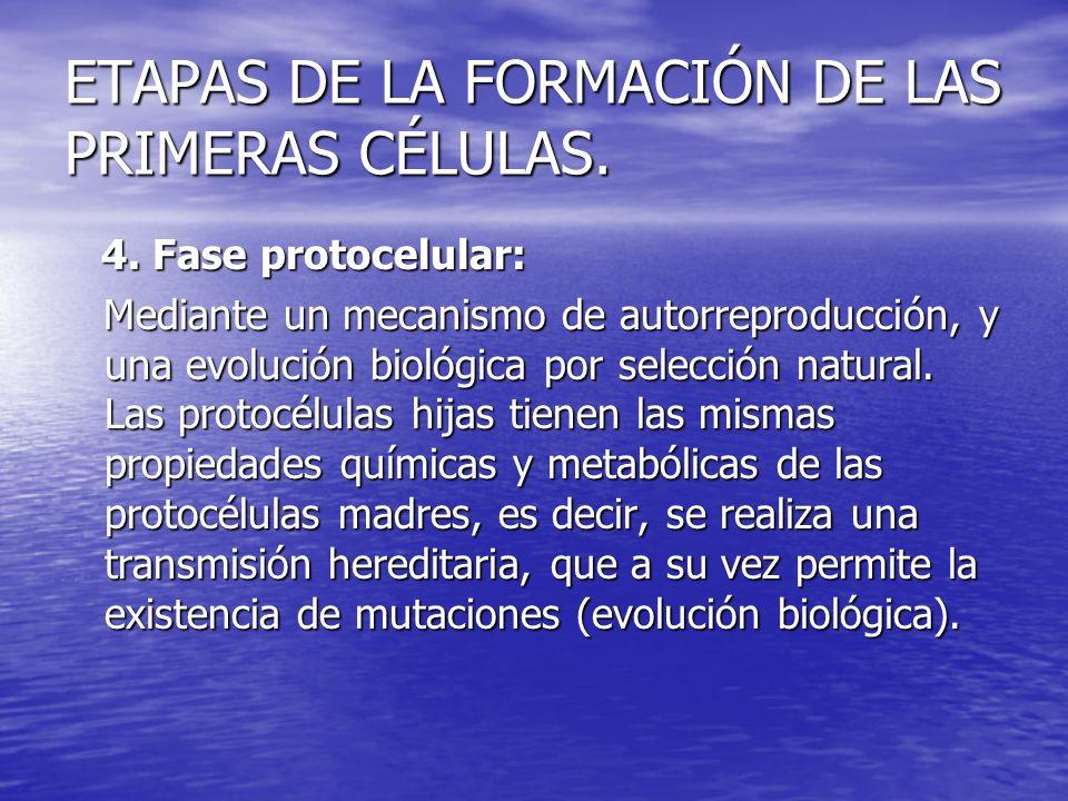 ETAPAS DE LA FORMACIÓN DE LAS PRIMERAS CÉLULAS. 4. Fase protocelular: 4. Fase protocelular: Mediante un mecanismo de autorreproducción, y una evolució
