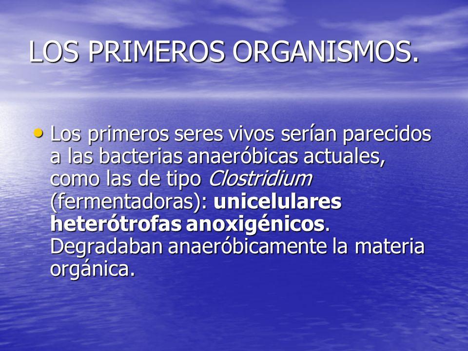 LOS PRIMEROS ORGANISMOS. Los primeros seres vivos serían parecidos a las bacterias anaeróbicas actuales, como las de tipo Clostridium (fermentadoras):