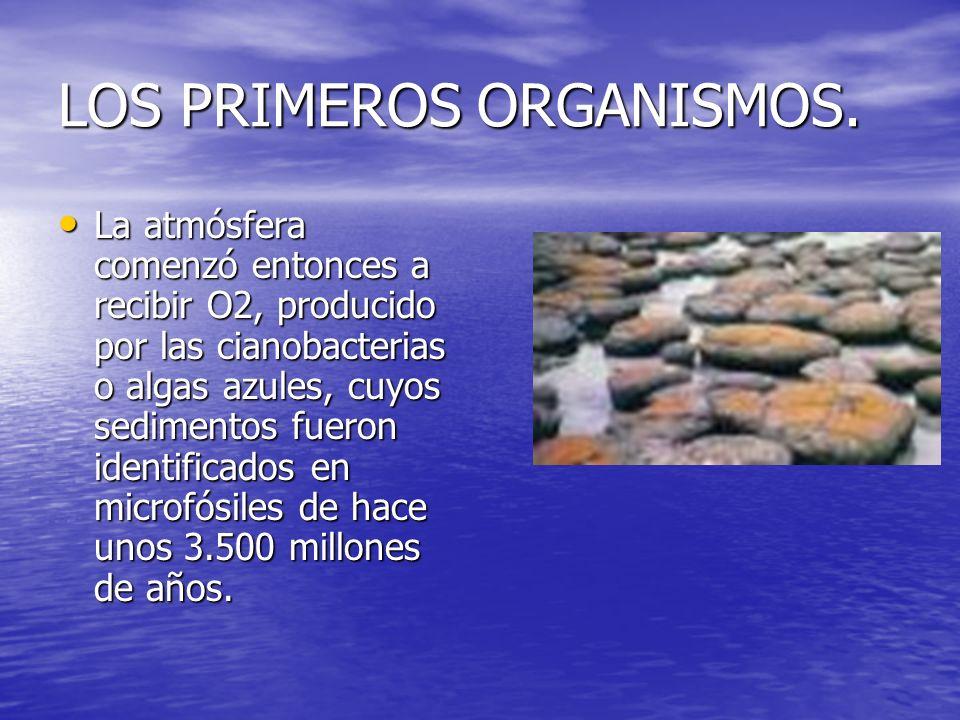 LOS PRIMEROS ORGANISMOS. La atmósfera comenzó entonces a recibir O2, producido por las cianobacterias o algas azules, cuyos sedimentos fueron identifi