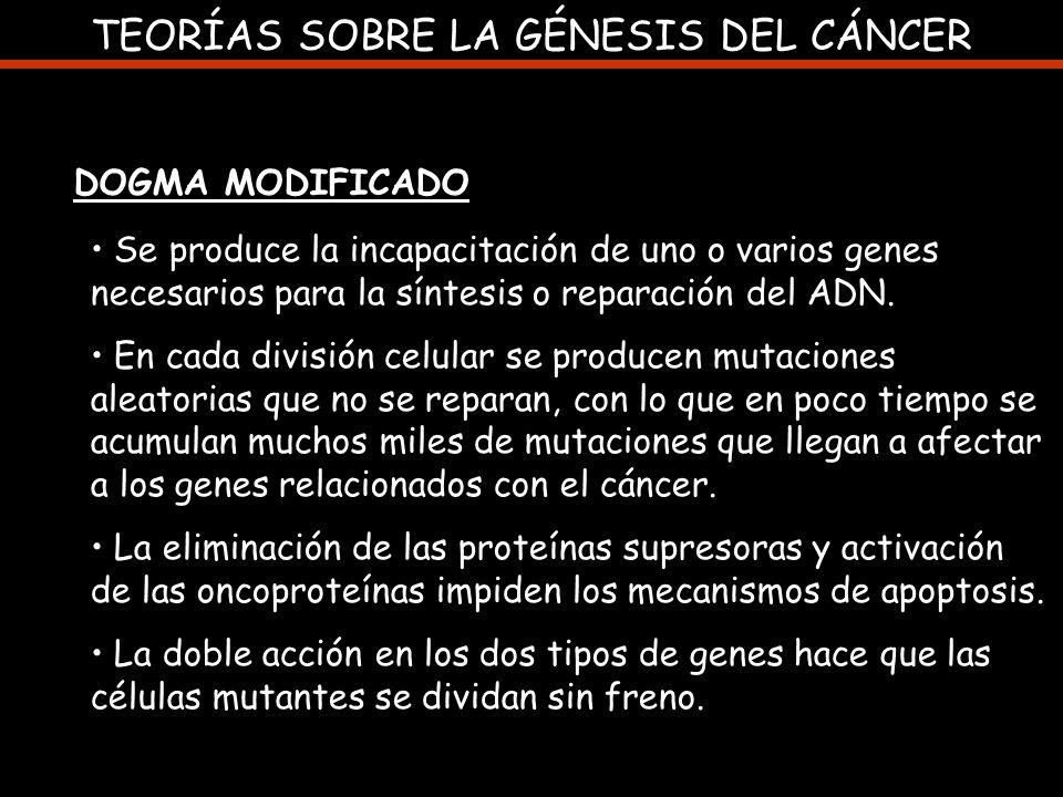 TEORÍAS SOBRE LA GÉNESIS DEL CÁNCER DOGMA MODIFICADO Se produce la incapacitación de uno o varios genes necesarios para la síntesis o reparación del A