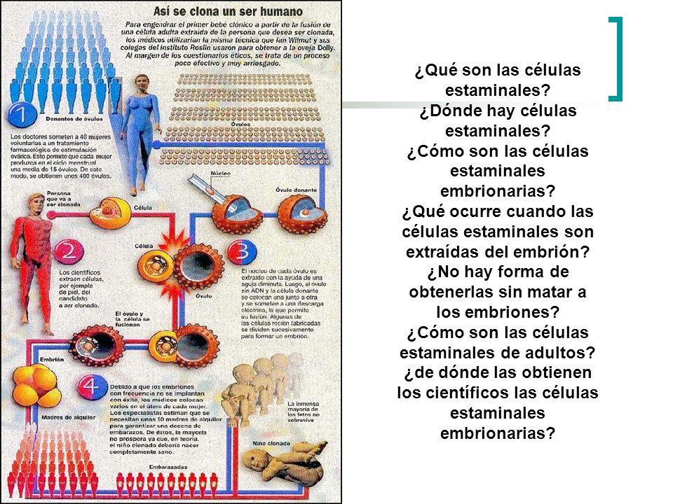 ¿Qué son las células estaminales? ¿Dónde hay células estaminales? ¿Cómo son las células estaminales embrionarias? ¿Qué ocurre cuando las células estam
