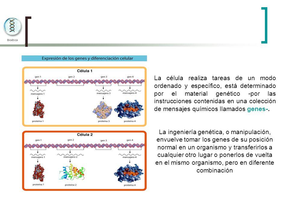 La célula realiza tareas de un modo ordenado y específico, está determinado por el material genético -por las instrucciones contenidas en una colecció