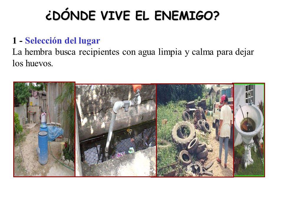 1 - Selección del lugar La hembra busca recipientes con agua limpia y calma para dejar los huevos.