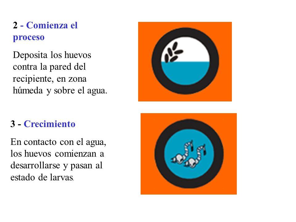 3 - Crecimiento En contacto con el agua, los huevos comienzan a desarrollarse y pasan al estado de larvas.
