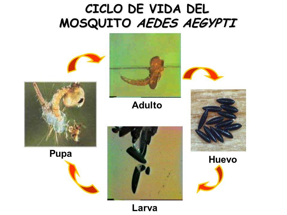 CICLO DE VIDA DEL MOSQUITO AEDES AEGYPTI Huevo Larva Pupa Adulto