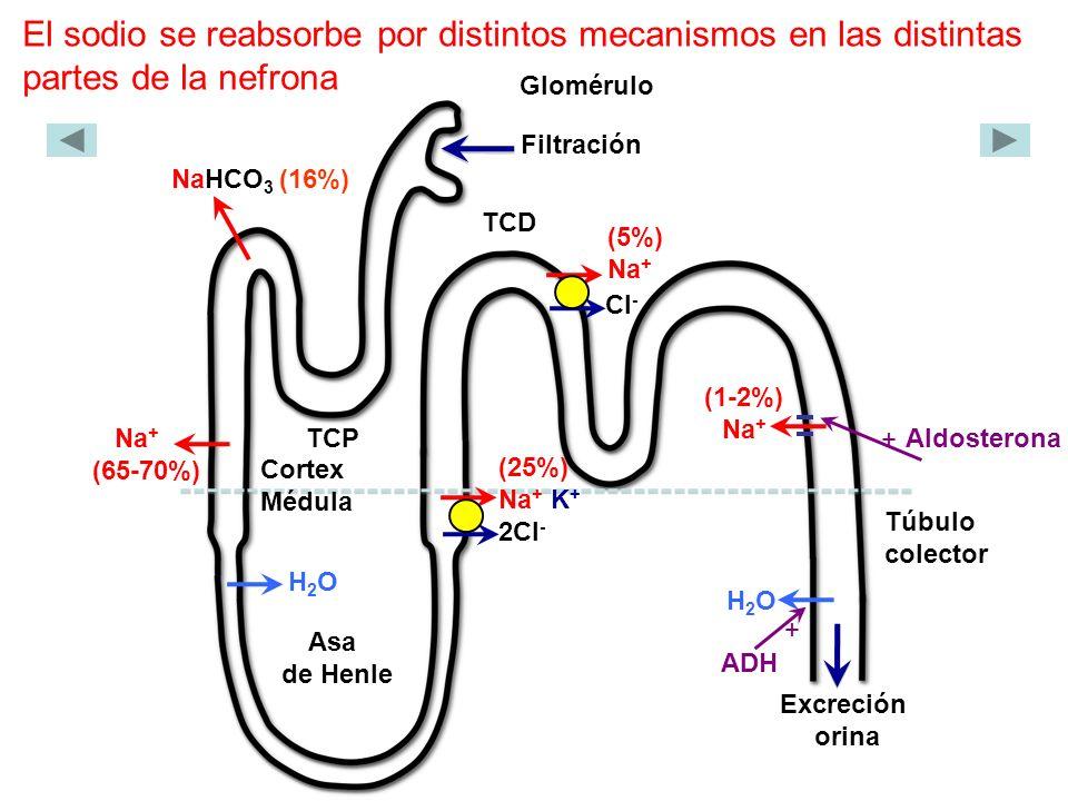 El sodio se reabsorbe por distintos mecanismos en las distintas partes de la nefrona Glomérulo Filtración NaHCO 3 (16%) TCP Cortex Médula Asa de Henle TCD Túbulo colector Aldosterona Excreción orina ADH Na + (65-70%) (25%) Na + K + 2Cl - (5%) Na + (1-2%) Na + H2OH2O H2OH2O + + Cl -