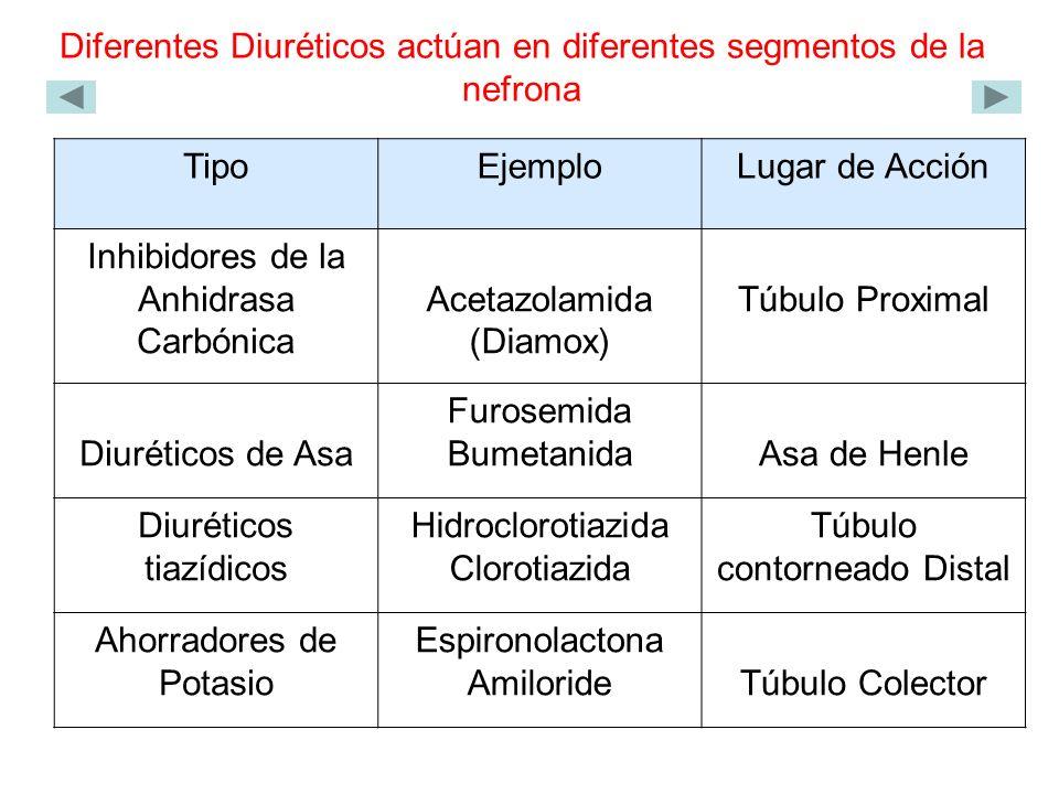 Diferentes Diuréticos actúan en diferentes segmentos de la nefrona TipoEjemploLugar de Acción Inhibidores de la Anhidrasa Carbónica Acetazolamida (Diamox) Túbulo Proximal Diuréticos de Asa Furosemida BumetanidaAsa de Henle Diuréticos tiazídicos Hidroclorotiazida Clorotiazida Túbulo contorneado Distal Ahorradores de Potasio Espironolactona AmilorideTúbulo Colector
