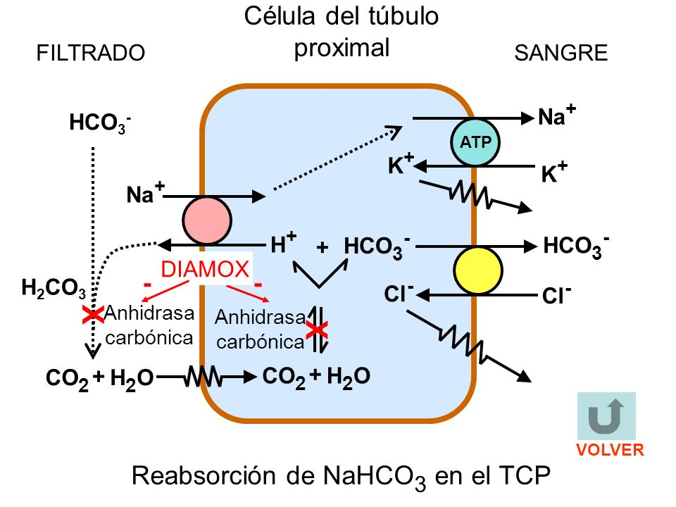 K+K+ H 2 CO 3 ATP Na + K+K+ H+H+ + H2OH2OCO 2 + H2OH2O + FILTRADOSANGRE Célula del túbulo proximal Anhidrasa carbónica Cl - HCO 3 - Cl - HCO 3 - Reabsorción de NaHCO 3 en el TCP HCO 3 - X X - DIAMOX - VOLVER