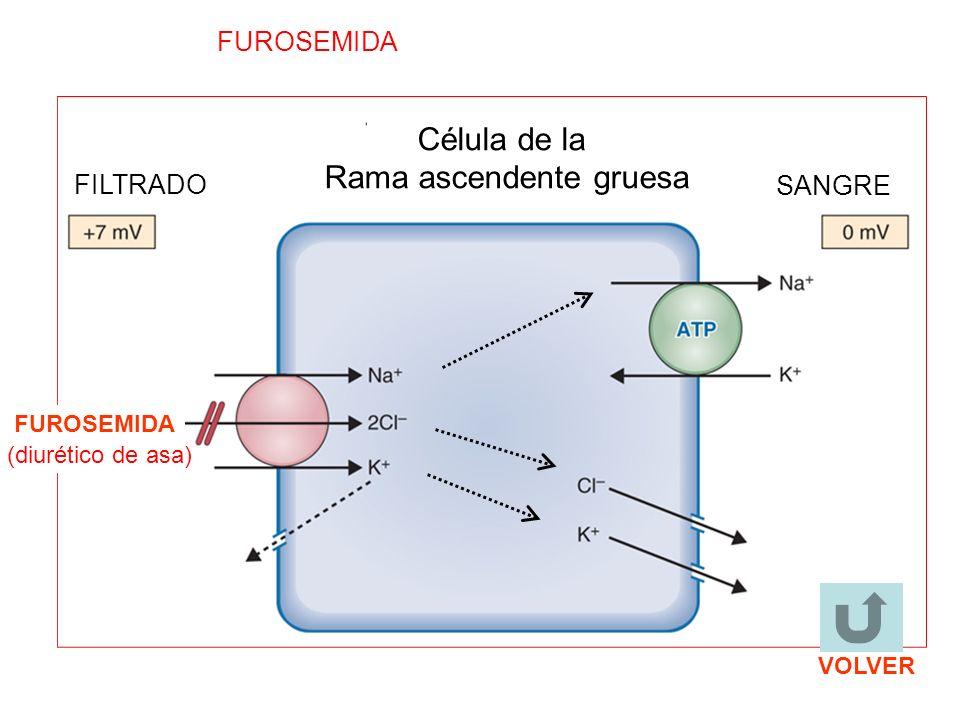 (diurético de asa) FUROSEMIDA Célula de la Rama ascendente gruesa FILTRADO SANGRE FUROSEMIDA VOLVER