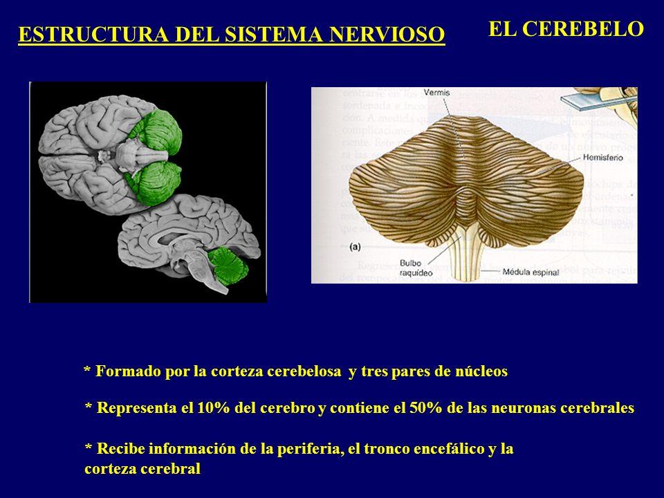 ESTRUCTURA DEL SISTEMA NERVIOSO EL CEREBELO * Formado por la corteza cerebelosa y tres pares de núcleos * Representa el 10% del cerebro y contiene el 50% de las neuronas cerebrales * Recibe información de la periferia, el tronco encefálico y la corteza cerebral