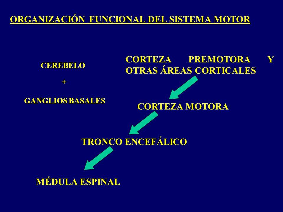 ORGANIZACIÓN FUNCIONAL DEL SISTEMA MOTOR MÉDULA ESPINAL TRONCO ENCEFÁLICO CORTEZA MOTORA CORTEZA PREMOTORA Y OTRAS ÁREAS CORTICALES + CEREBELO GANGLIOS BASALES