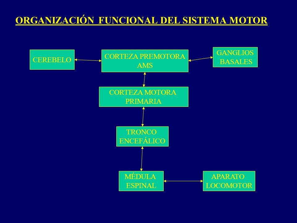 ORGANIZACIÓN FUNCIONAL DEL SISTEMA MOTOR CEREBELO GANGLIOS BASALES CORTEZA PREMOTORA AMS CORTEZA MOTORA PRIMARIA TRONCO ENCEFÁLICO MÉDULA ESPINAL APARATO LOCOMOTOR