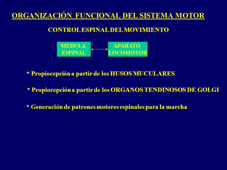 ORGANIZACIÓN FUNCIONAL DEL SISTEMA MOTOR MÉDULA ESPINAL APARATO LOCOMOTOR CONTROL ESPINAL DEL MOVIMIENTO * Propiocepción a partir de los HUSOS MUCULARES * Propiocepción a partir de los ORGANOS TENDINOSOS DE GOLGI * Generación de patrones motores espinales para la marcha