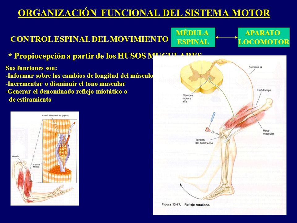 ORGANIZACIÓN FUNCIONAL DEL SISTEMA MOTOR MÉDULA ESPINAL APARATO LOCOMOTOR CONTROL ESPINAL DEL MOVIMIENTO * Propiocepción a partir de los HUSOS MUCULARES Sus funciones son: -Informar sobre los cambios de longitud del músculo -Incrementar o disminuir el tono muscular -Generar el denominado reflejo miotático o de estiramiento