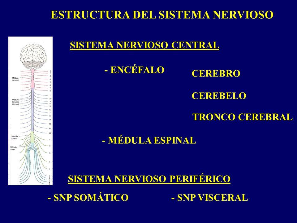 ESTRUCTURA DEL SISTEMA NERVIOSO SISTEMA NERVIOSO CENTRAL SISTEMA NERVIOSO PERIFÉRICO - ENCÉFALO - MÉDULA ESPINAL TRONCO CEREBRAL CEREBRO CEREBELO - SNP SOMÁTICO- SNP VISCERAL