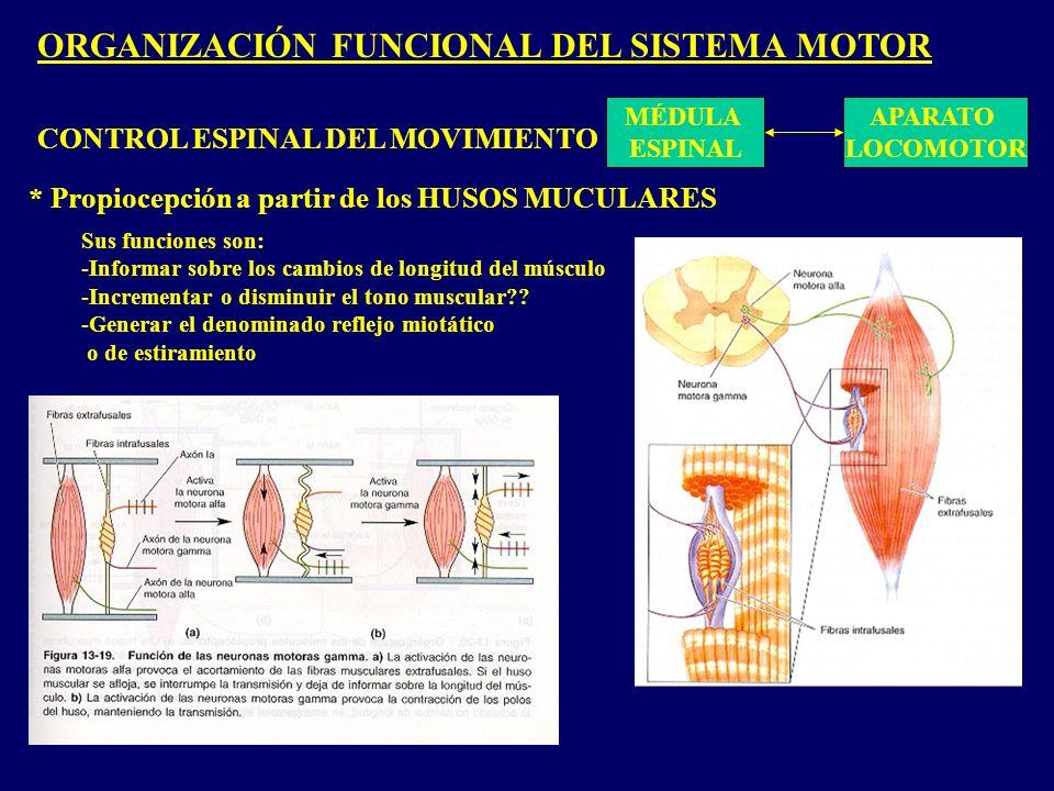 ORGANIZACIÓN FUNCIONAL DEL SISTEMA MOTOR MÉDULA ESPINAL APARATO LOCOMOTOR CONTROL ESPINAL DEL MOVIMIENTO * Propiocepción a partir de los HUSOS MUCULARES Sus funciones son: -Informar sobre los cambios de longitud del músculo -Incrementar o disminuir el tono muscular?.