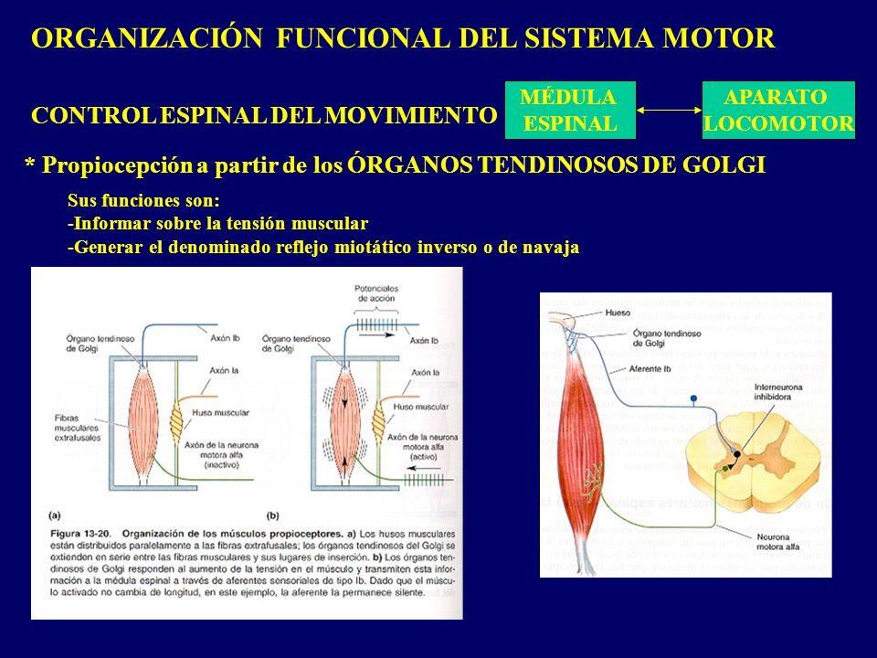 ORGANIZACIÓN FUNCIONAL DEL SISTEMA MOTOR MÉDULA ESPINAL APARATO LOCOMOTOR CONTROL ESPINAL DEL MOVIMIENTO * Propiocepción a partir de los ÓRGANOS TENDINOSOS DE GOLGI Sus funciones son: -Informar sobre la tensión muscular -Generar el denominado reflejo miotático inverso o de navaja