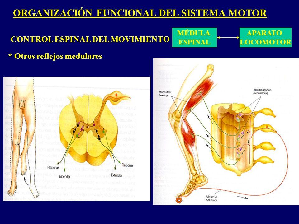 ORGANIZACIÓN FUNCIONAL DEL SISTEMA MOTOR MÉDULA ESPINAL APARATO LOCOMOTOR CONTROL ESPINAL DEL MOVIMIENTO * Otros reflejos medulares