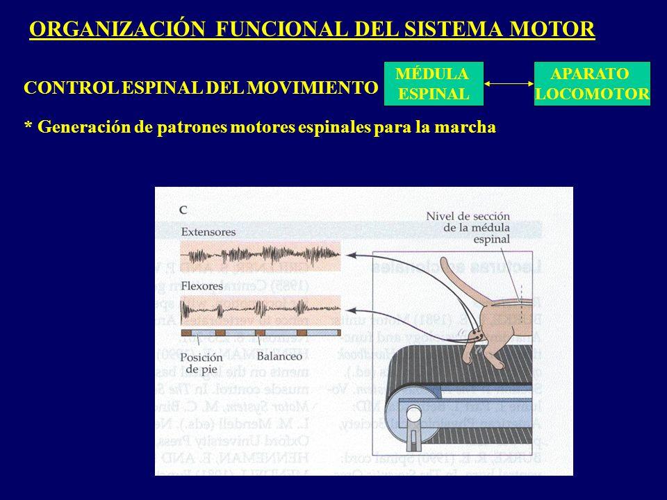 ORGANIZACIÓN FUNCIONAL DEL SISTEMA MOTOR MÉDULA ESPINAL APARATO LOCOMOTOR CONTROL ESPINAL DEL MOVIMIENTO * Generación de patrones motores espinales para la marcha