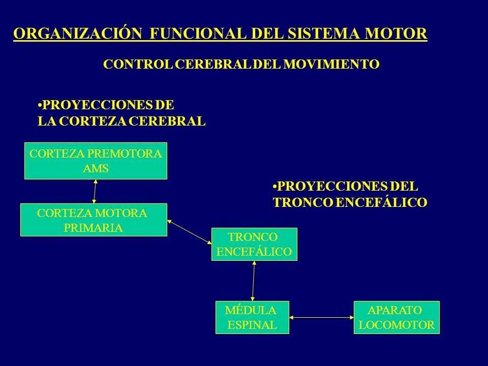 ORGANIZACIÓN FUNCIONAL DEL SISTEMA MOTOR CONTROL CEREBRAL DEL MOVIMIENTO PROYECCIONES DEL TRONCO ENCEFÁLICO PROYECCIONES DE LA CORTEZA CEREBRAL TRONCO ENCEFÁLICO MÉDULA ESPINAL APARATO LOCOMOTOR CORTEZA PREMOTORA AMS CORTEZA MOTORA PRIMARIA